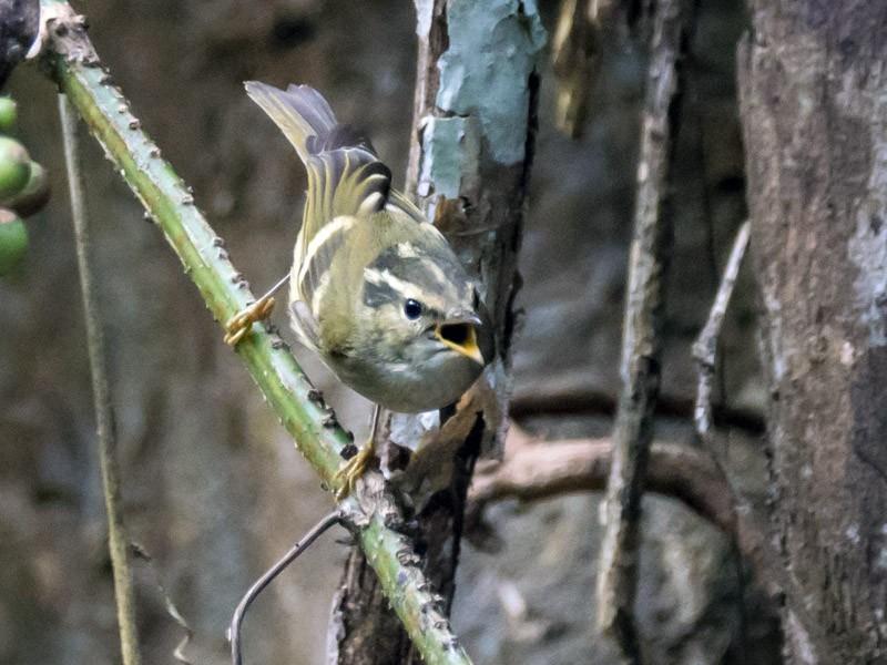Chinese Leaf Warbler - Pattaraporn Vangtal