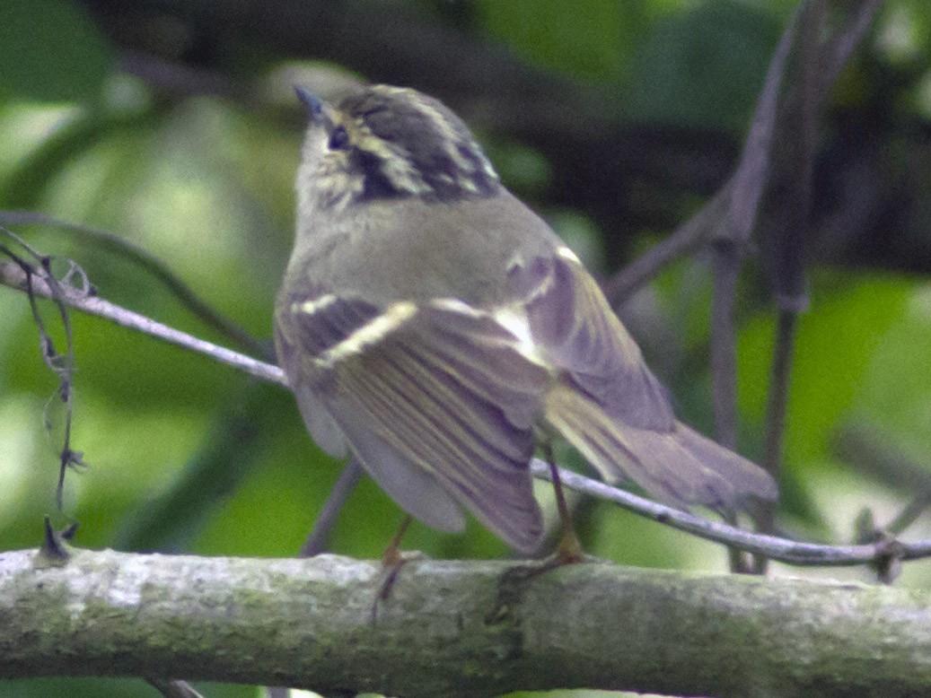 Chinese Leaf Warbler - Paul Hyde