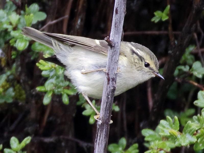 Sichuan Leaf Warbler - Dave Curtis