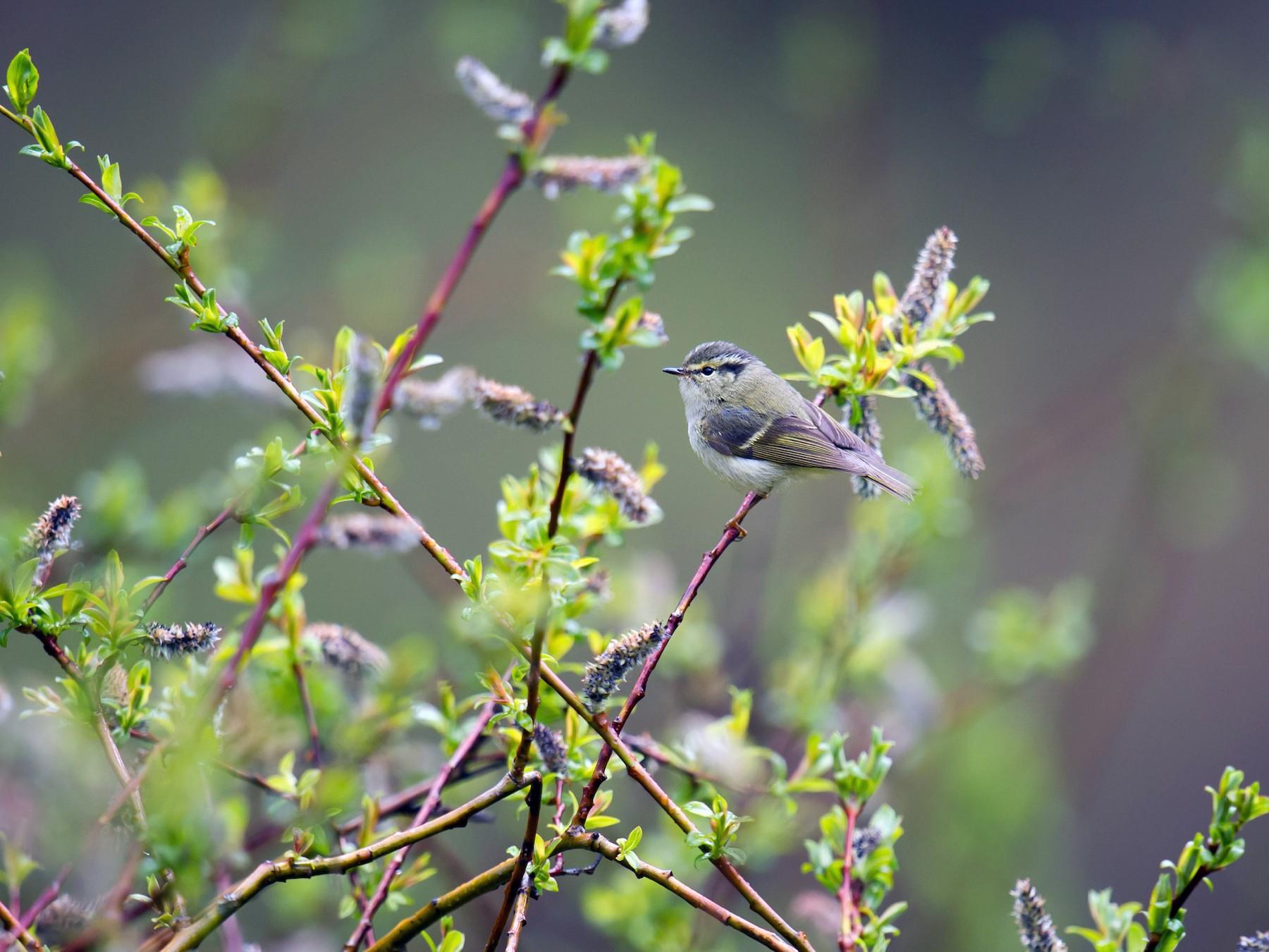 Sichuan Leaf Warbler - Craig Brelsford