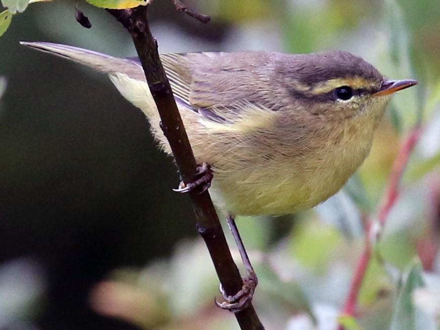 Yellow-streaked Warbler - Dan Jones