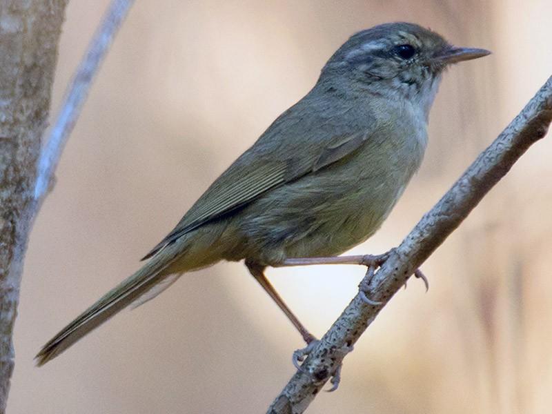 Yellow-streaked Warbler - Ayuwat Jearwattanakanok