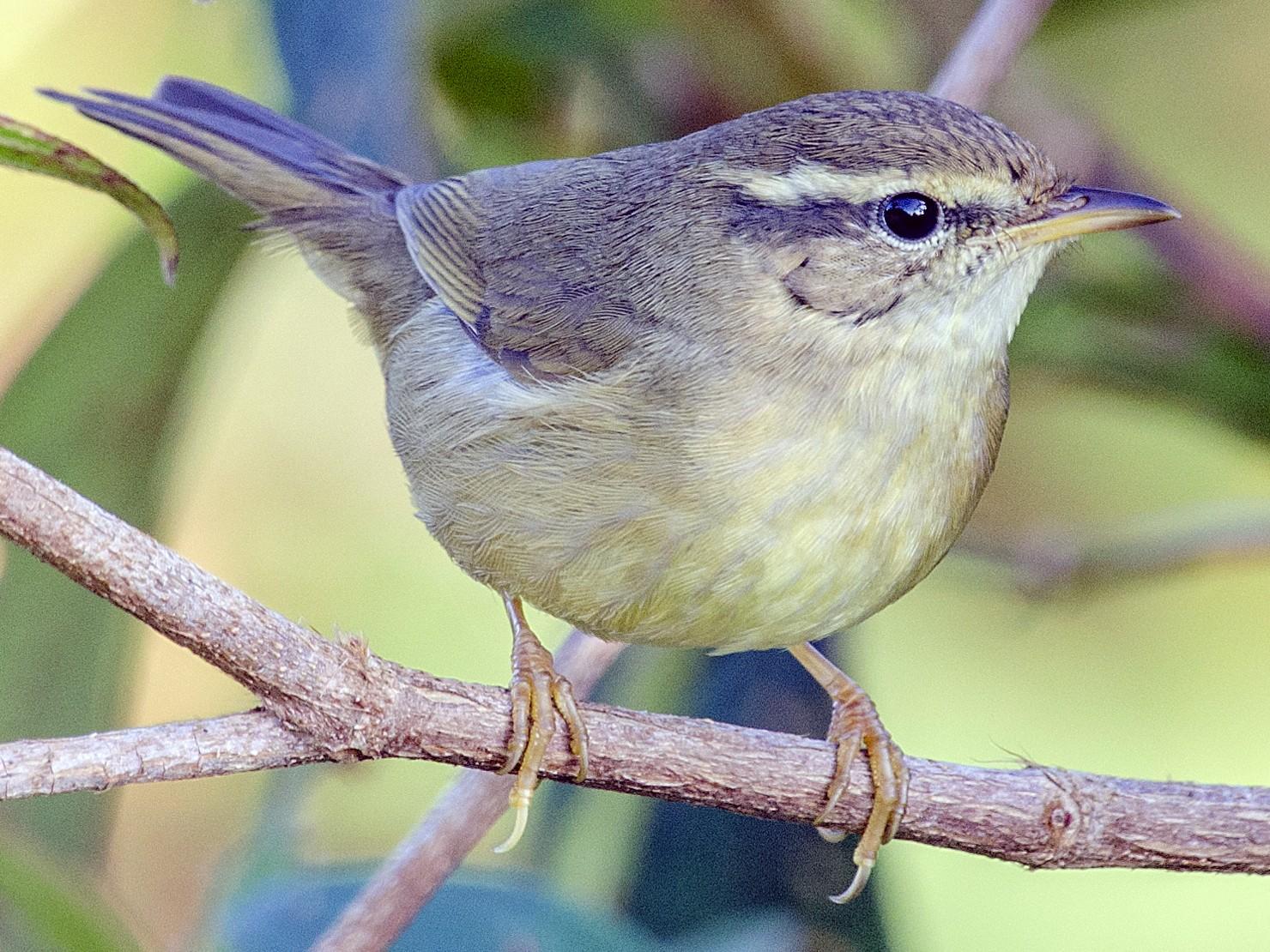 Yellow-streaked Warbler - John Clough