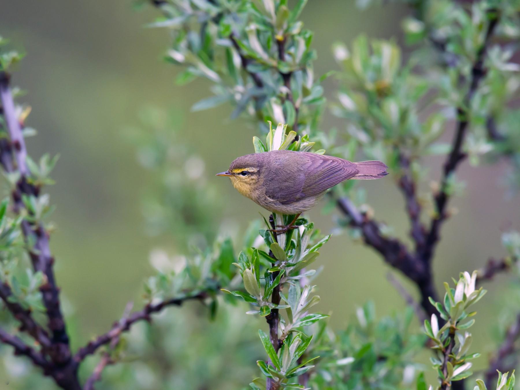 Alpine Leaf Warbler - Craig Brelsford
