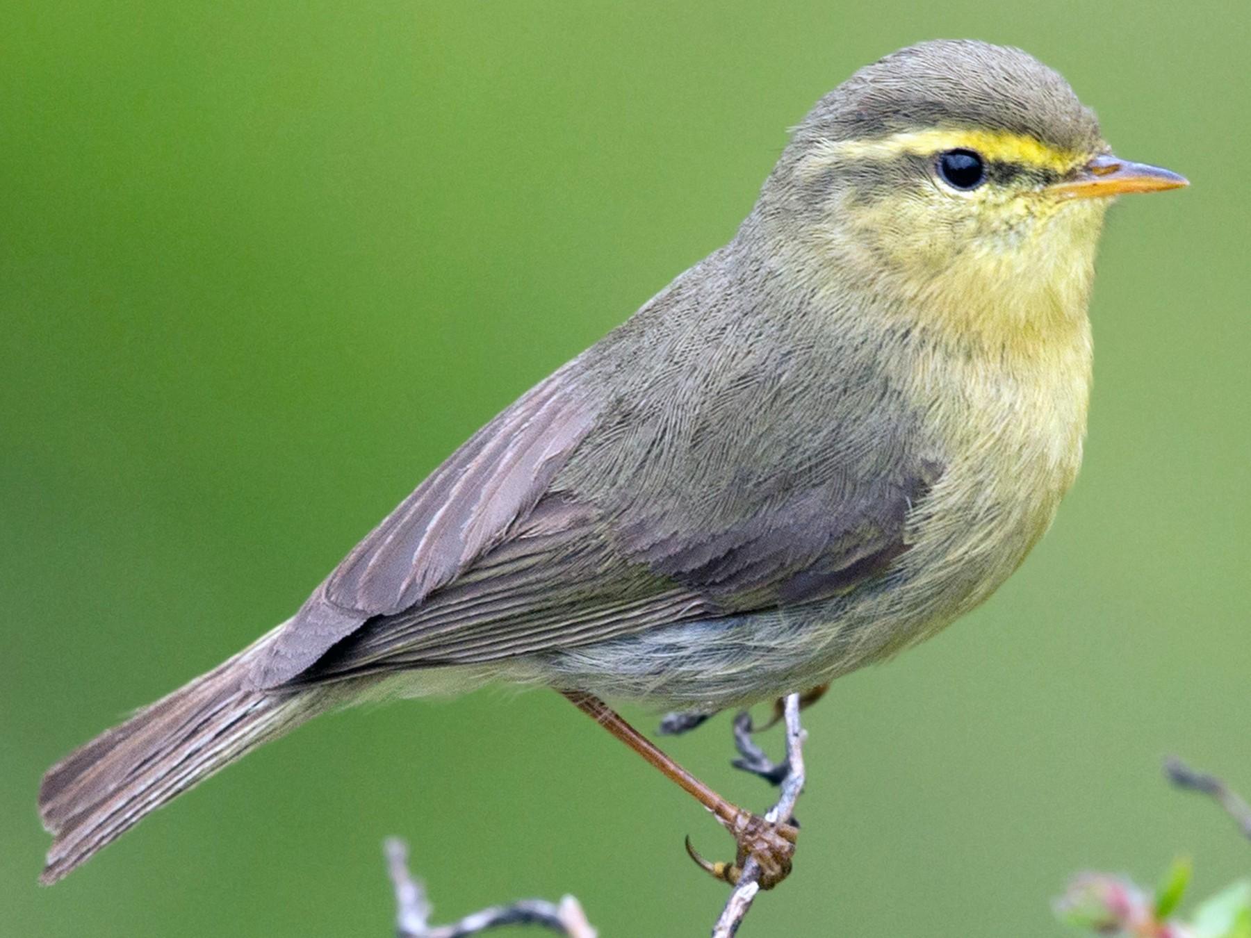 Alpine Leaf Warbler - David Irving