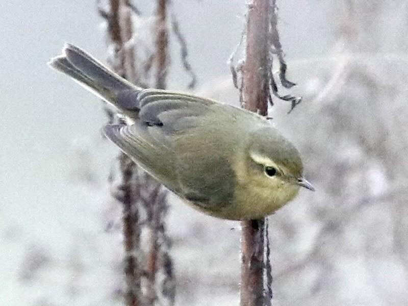 Buff-throated Warbler - Vincent Wang