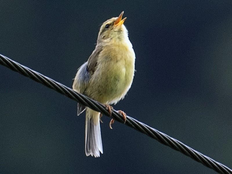 Buff-throated Warbler - James Kennerley 🦄