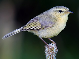 - Buff-throated Warbler