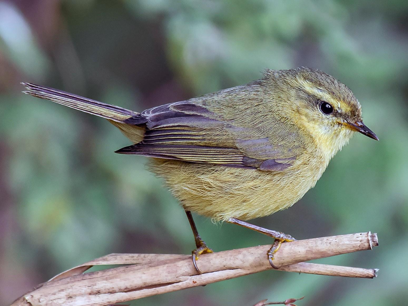Buff-throated Warbler - Natthaphat Chotjuckdikul