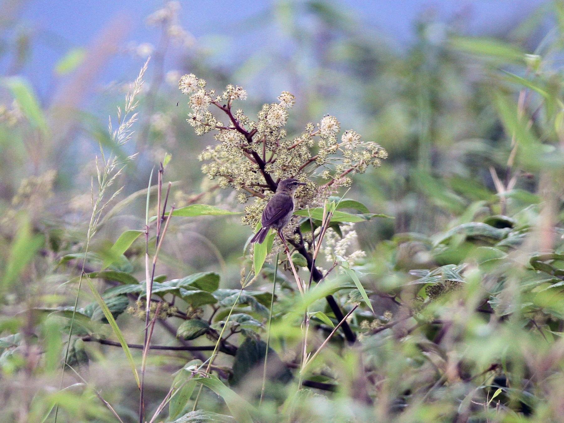 Buff-throated Warbler - Qin Huang