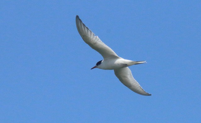 ©Diane Highbaugh - Common Tern