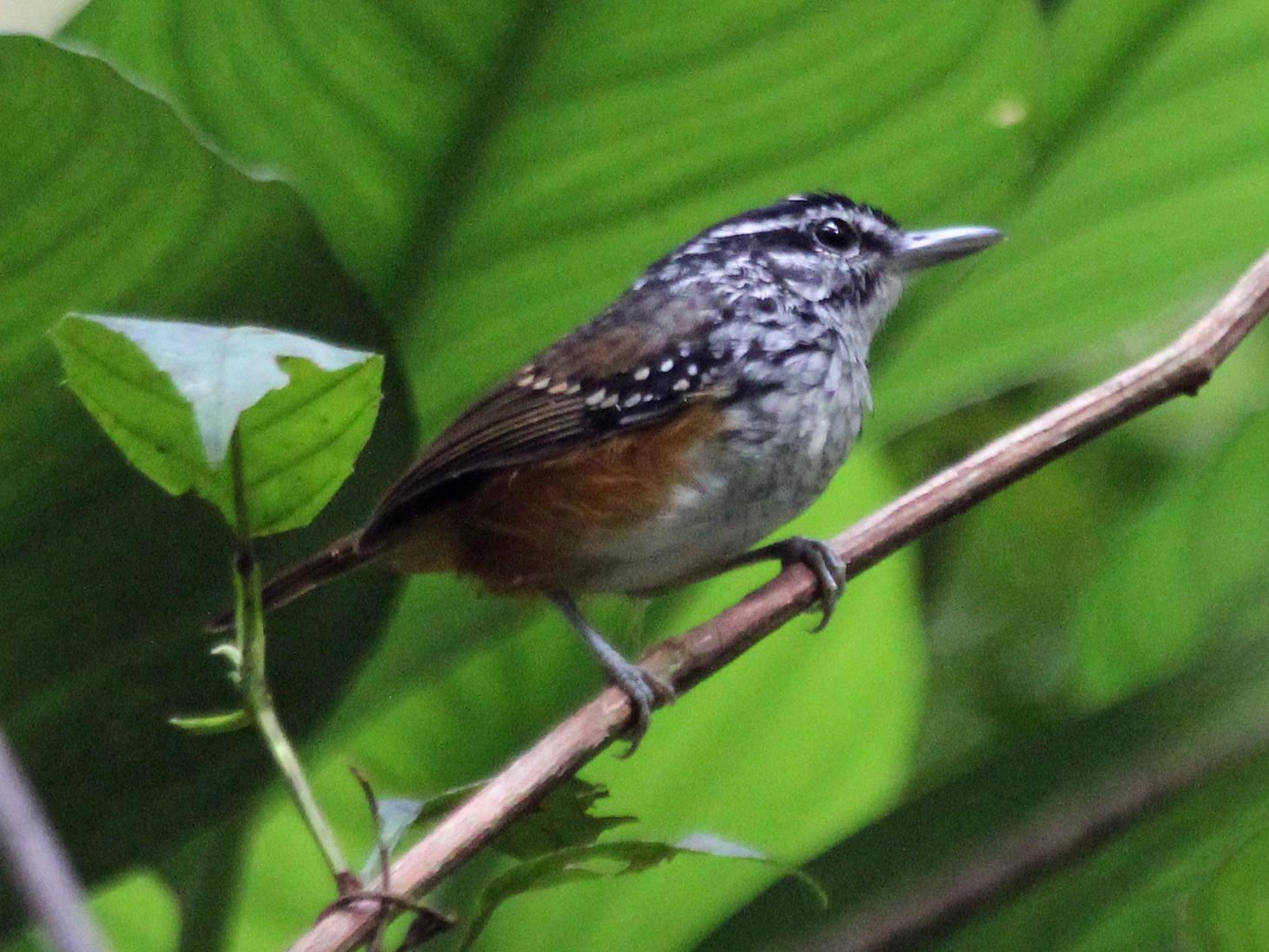 Guianan Warbling-Antbird - Alexander Lees