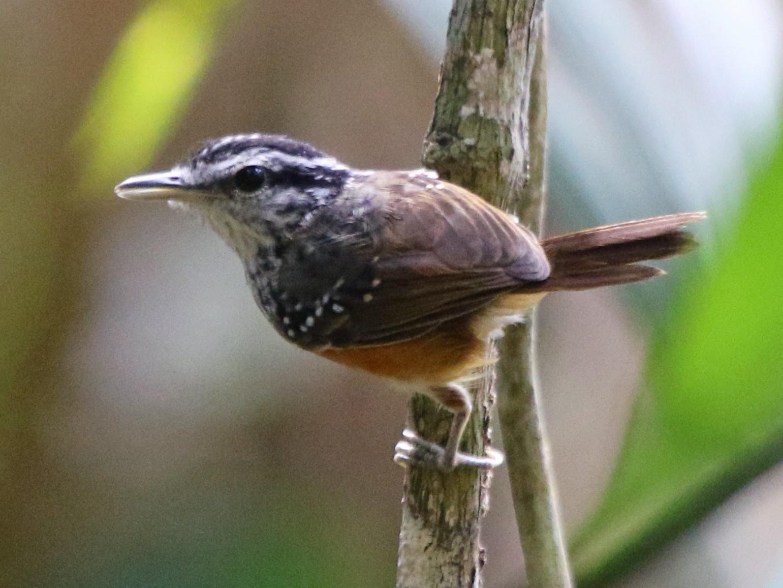 Guianan Warbling-Antbird - Thompson Ian