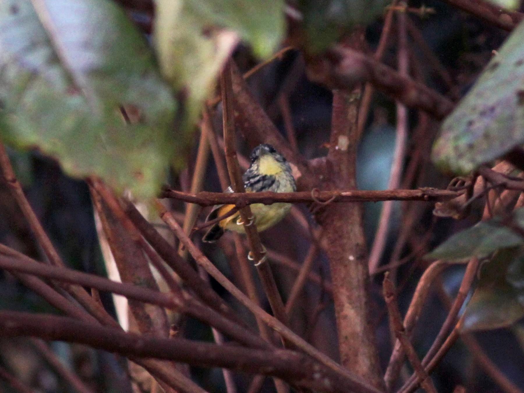 Guianan Warbling-Antbird - Jay McGowan