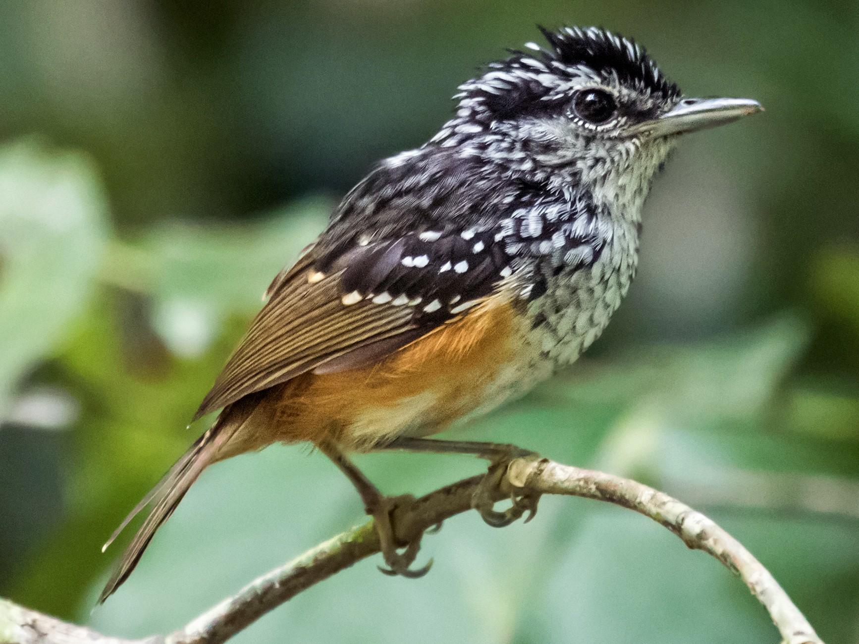 Guianan Warbling-Antbird - Nick Athanas