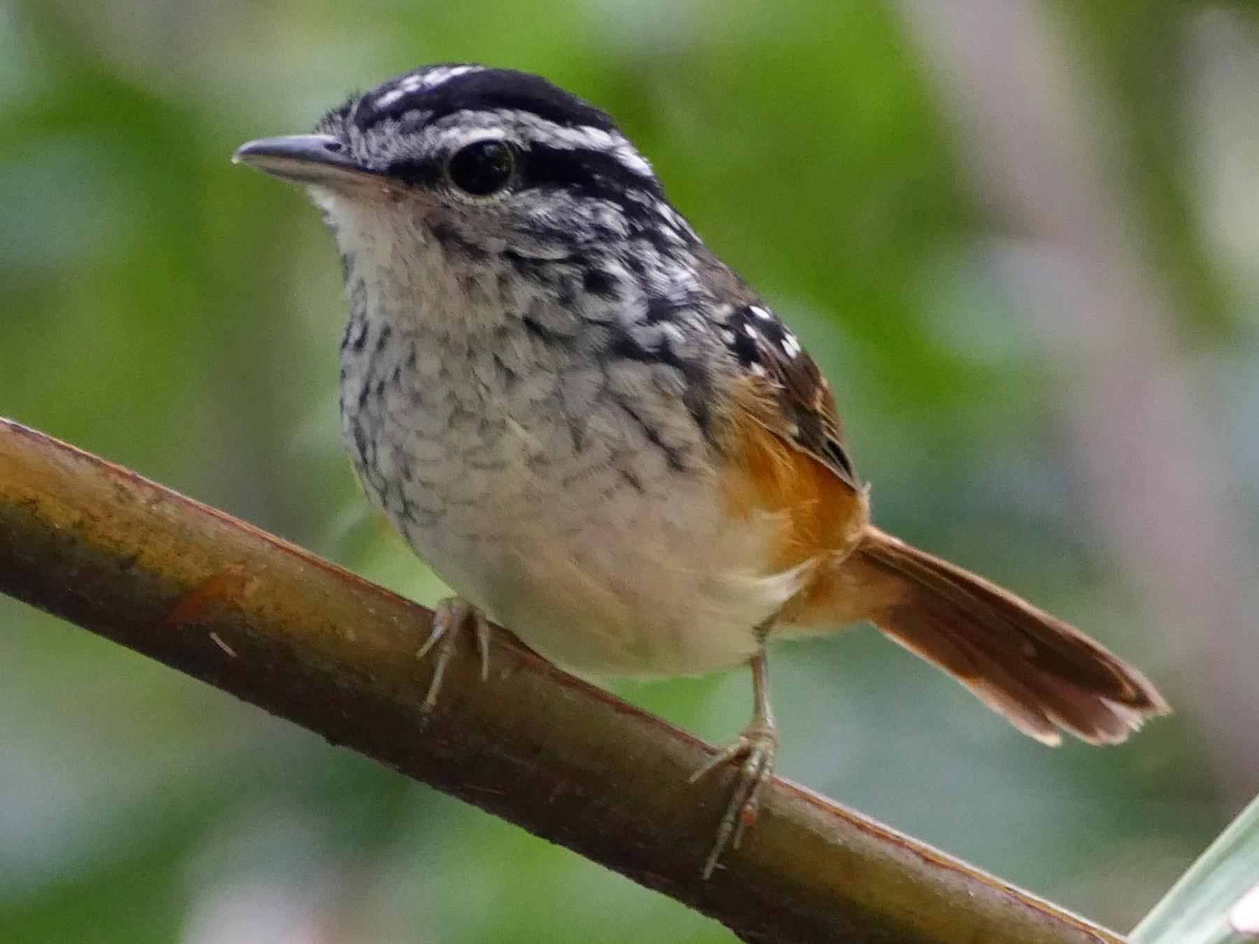 Guianan Warbling-Antbird - Peter Kaestner