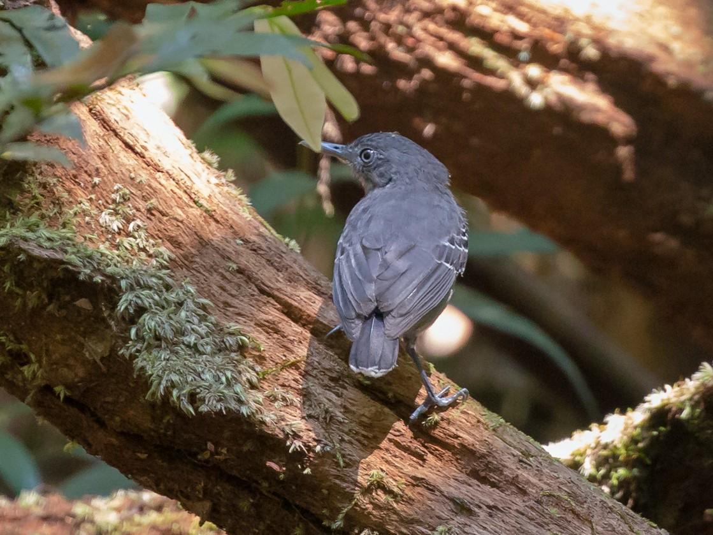 Black-chinned Antbird - Rob Felix