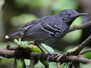 - Band-tailed Antbird
