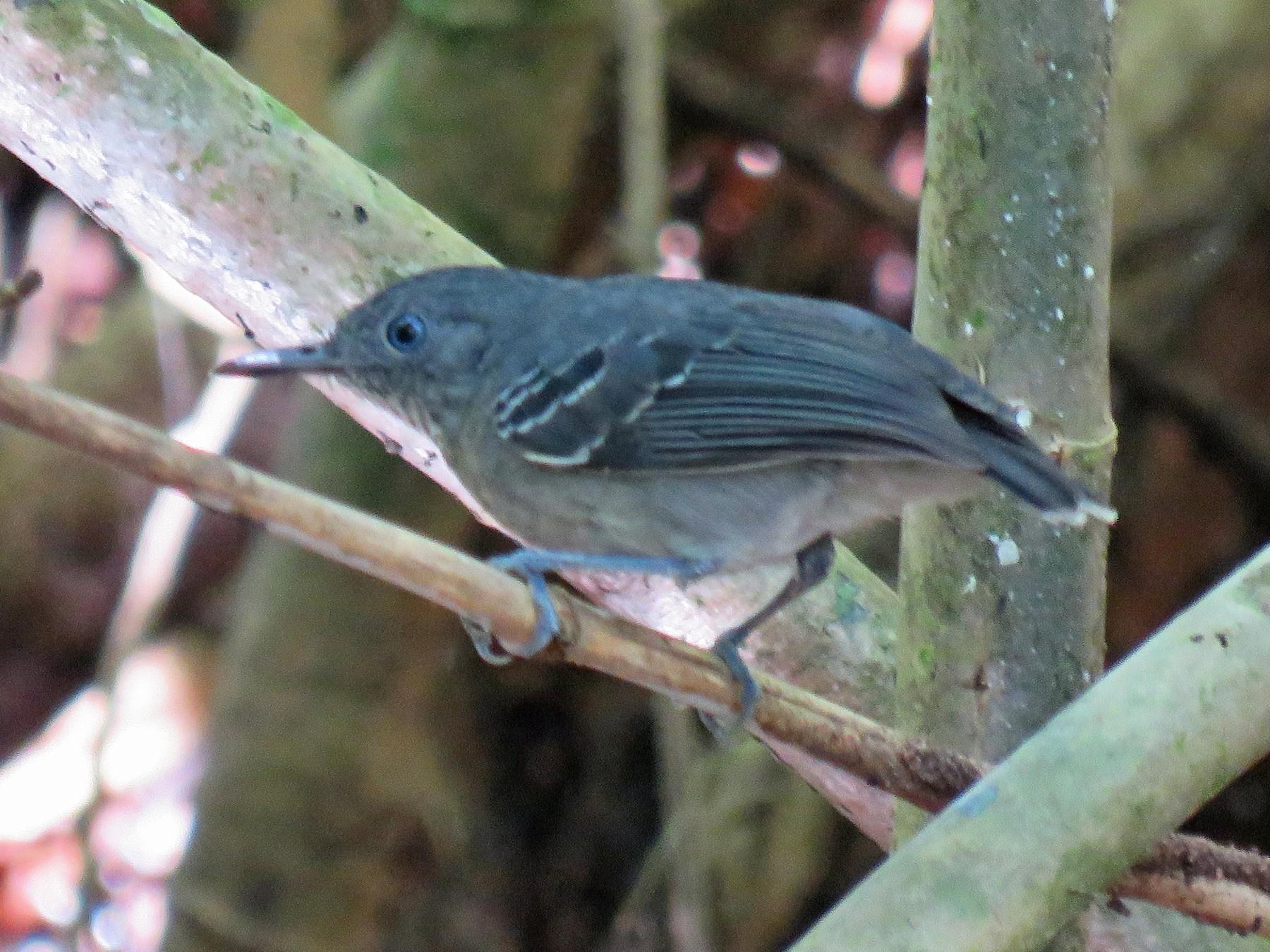 Black-chinned Antbird - Anonymous eBirder