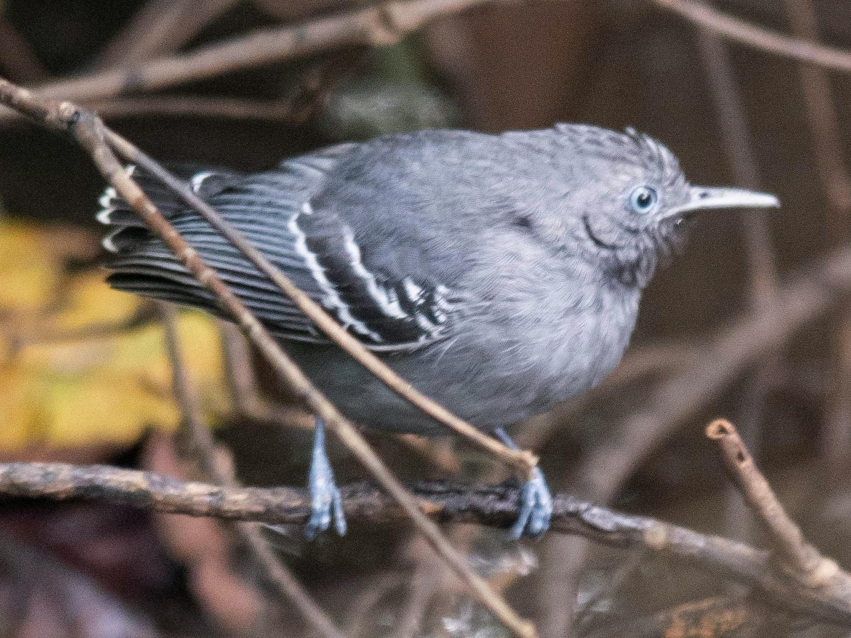 Black-chinned Antbird - Carla Moura