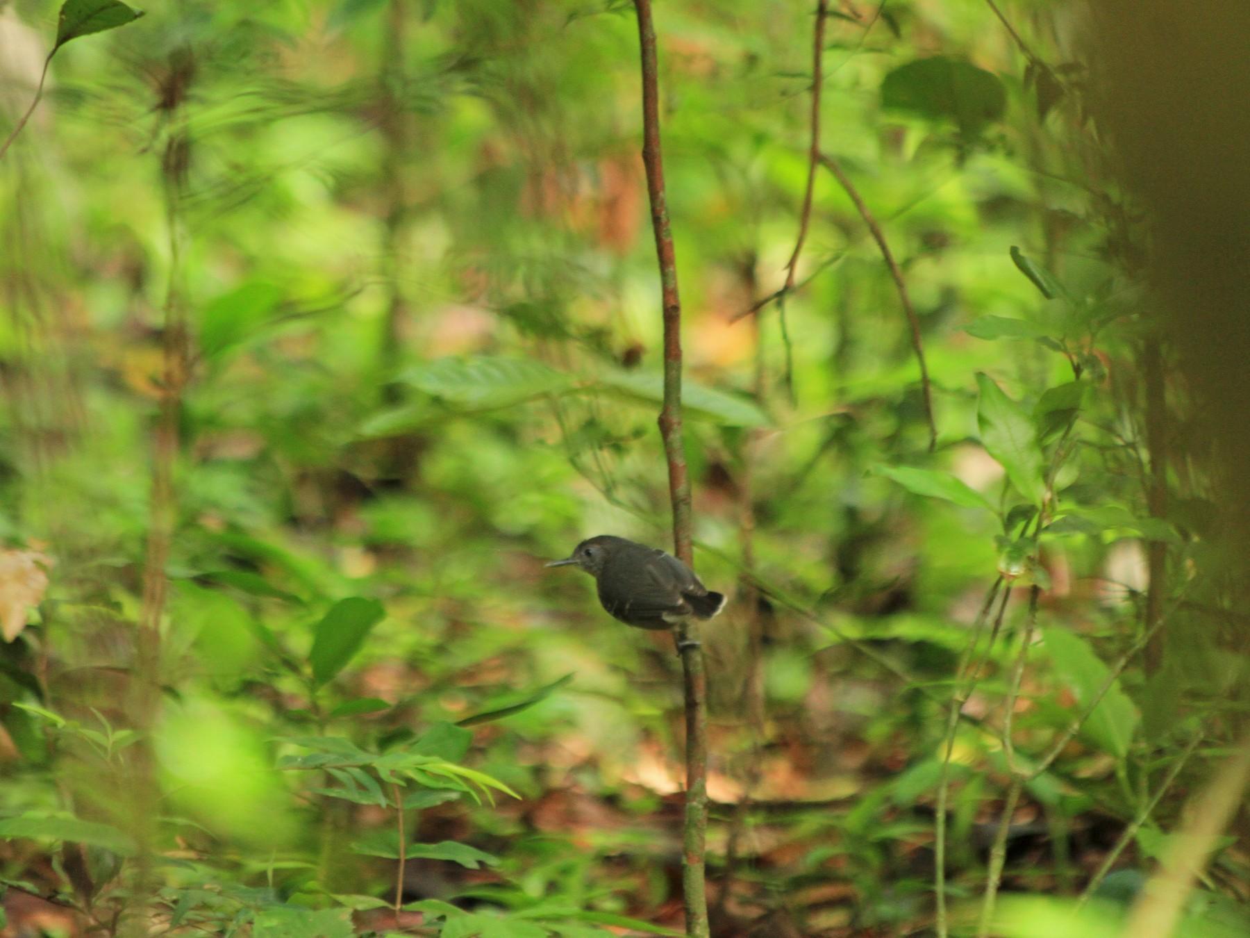 Black-chinned Antbird - Laura María Miranda Cortes