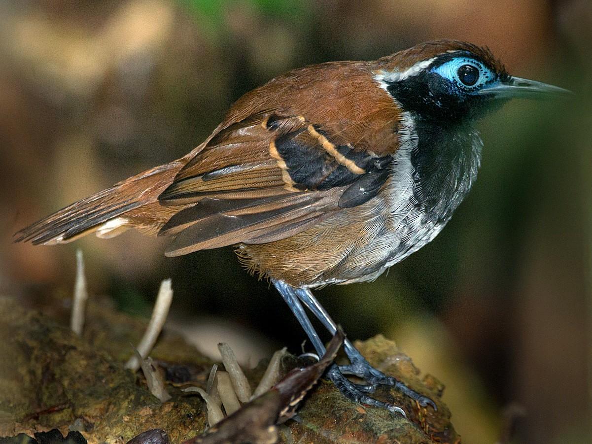 Ferruginous-backed Antbird - LUCIANO BERNARDES