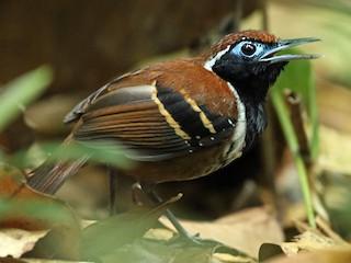 - Ferruginous-backed Antbird