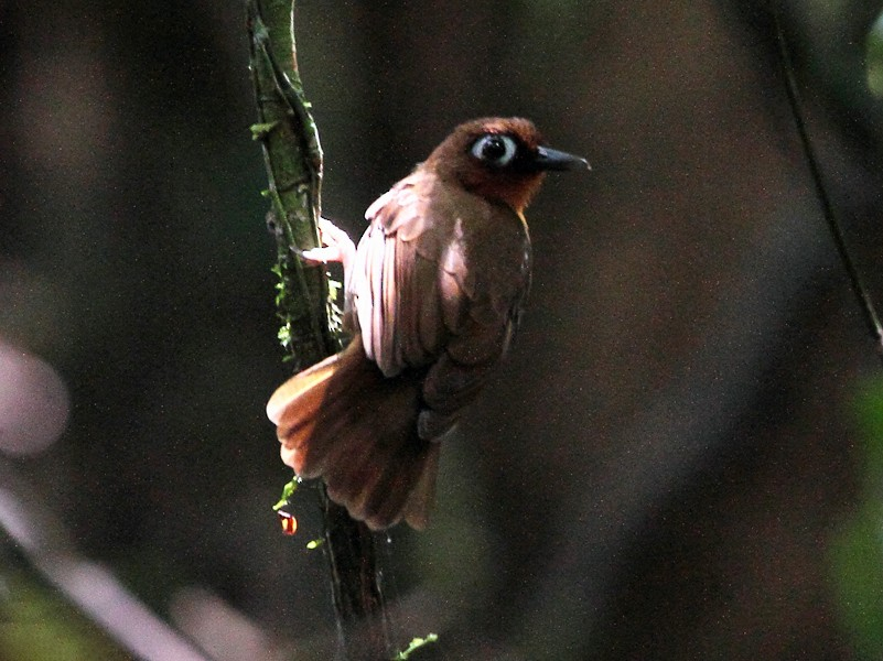 Rufous-throated Antbird - Lorenzo Calcaño