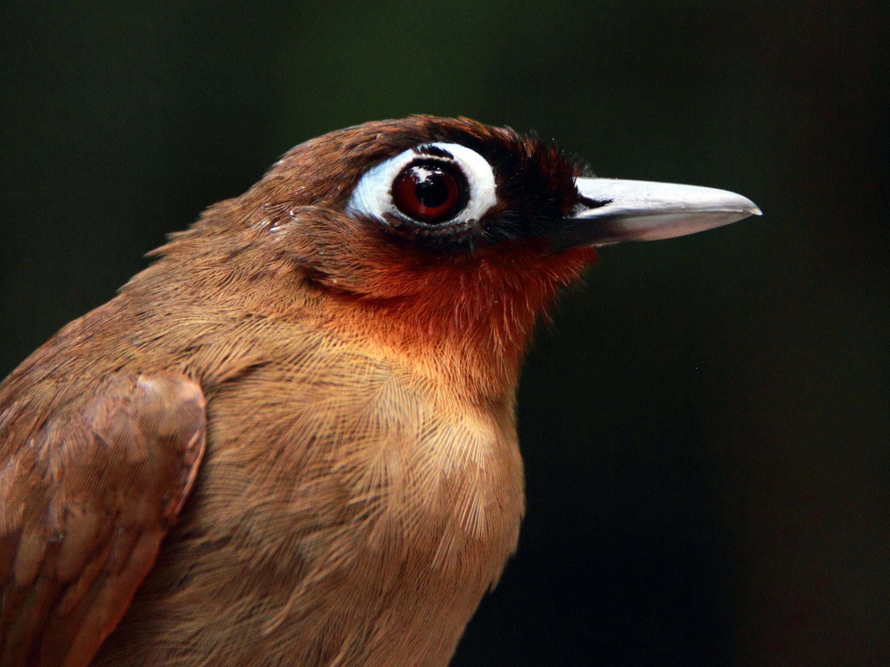 Rufous-throated Antbird - Phil Stouffer
