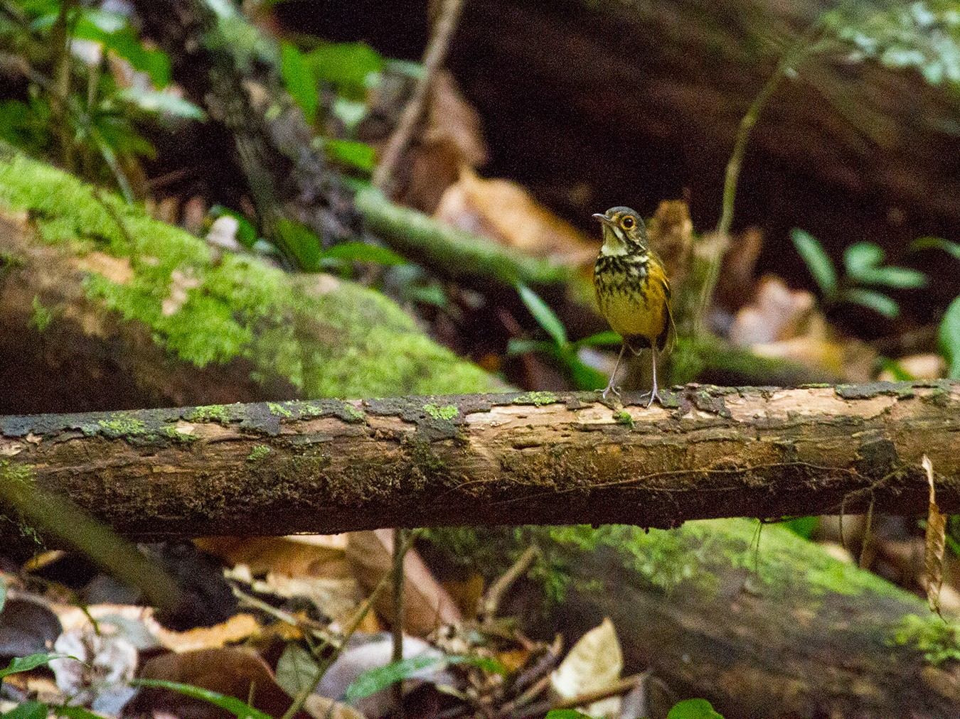 Spotted Antpitta - Leon Moore