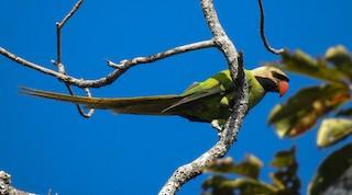 - Nicobar Parakeet
