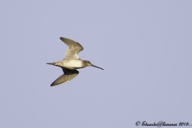 © Jorge Eduardo  Ruano - Long-billed Dowitcher