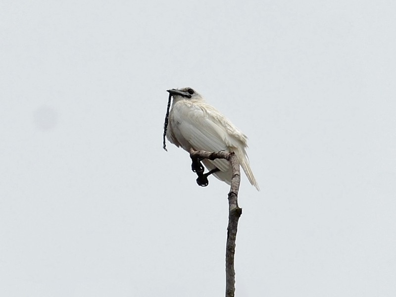 White Bellbird - Bruno Rennó