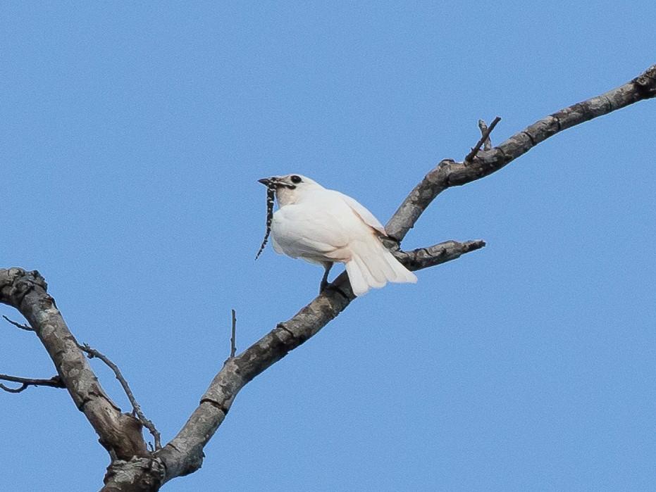 White Bellbird - André Grassi - EcoBirdingBrazil