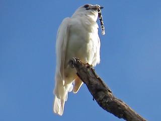 - White Bellbird