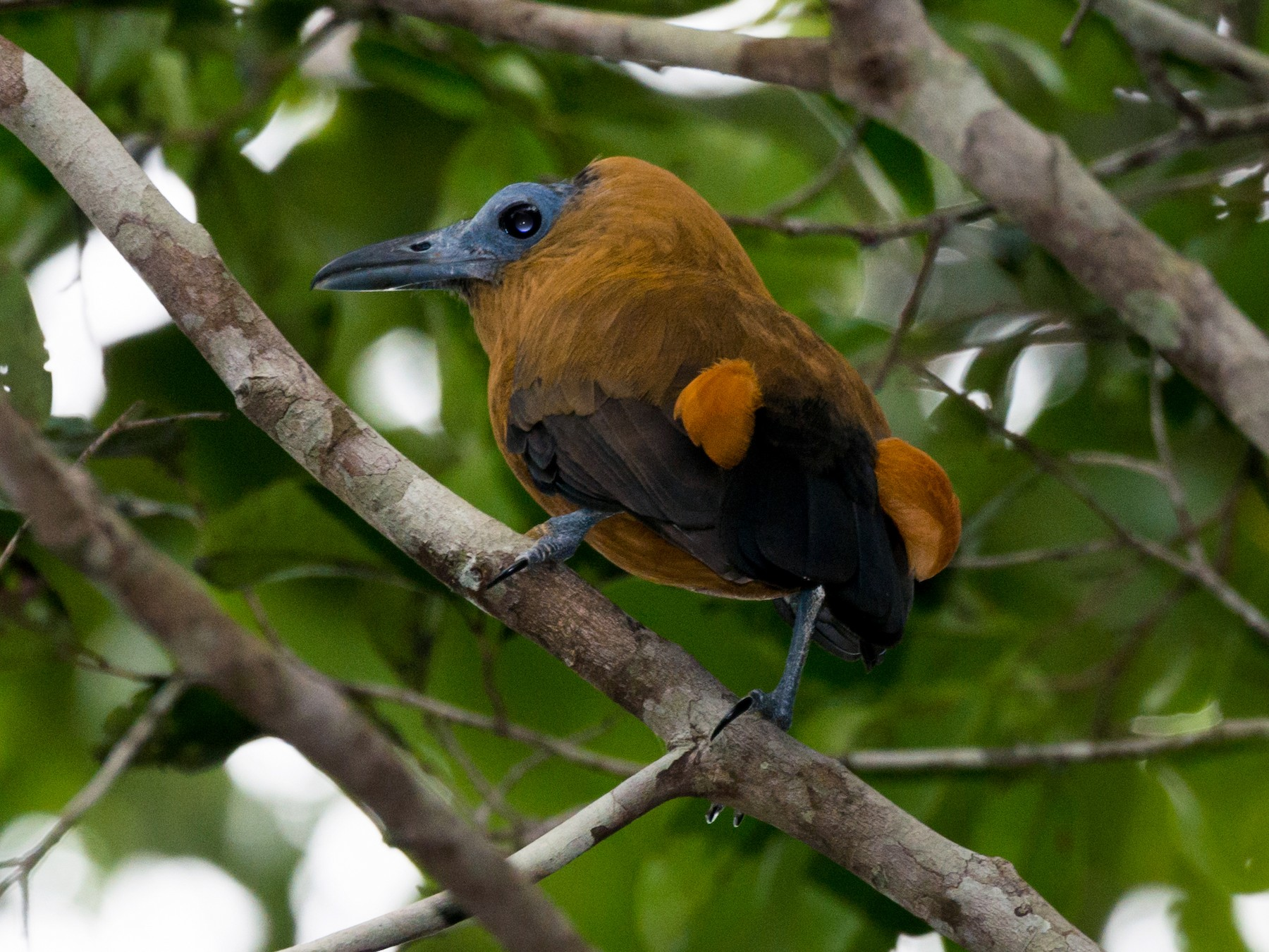 Capuchinbird - Claudia Brasileiro