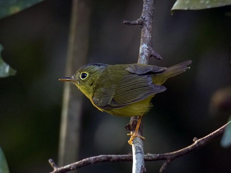 Alström's Warbler - Wich'yanan Limparungpatthanakij