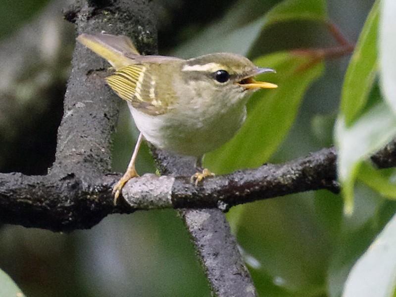 Emei Leaf Warbler - Dave Curtis