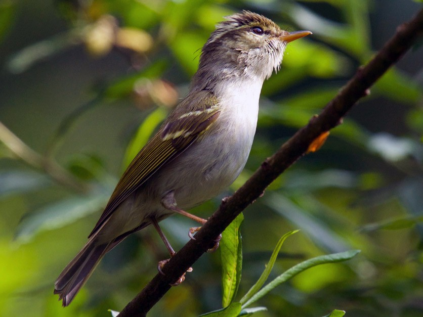 Emei Leaf Warbler - Qin Huang