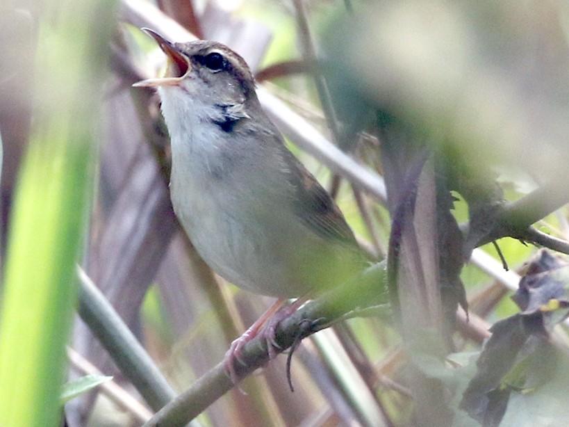 Pale-footed Bush Warbler - Charley Hesse
