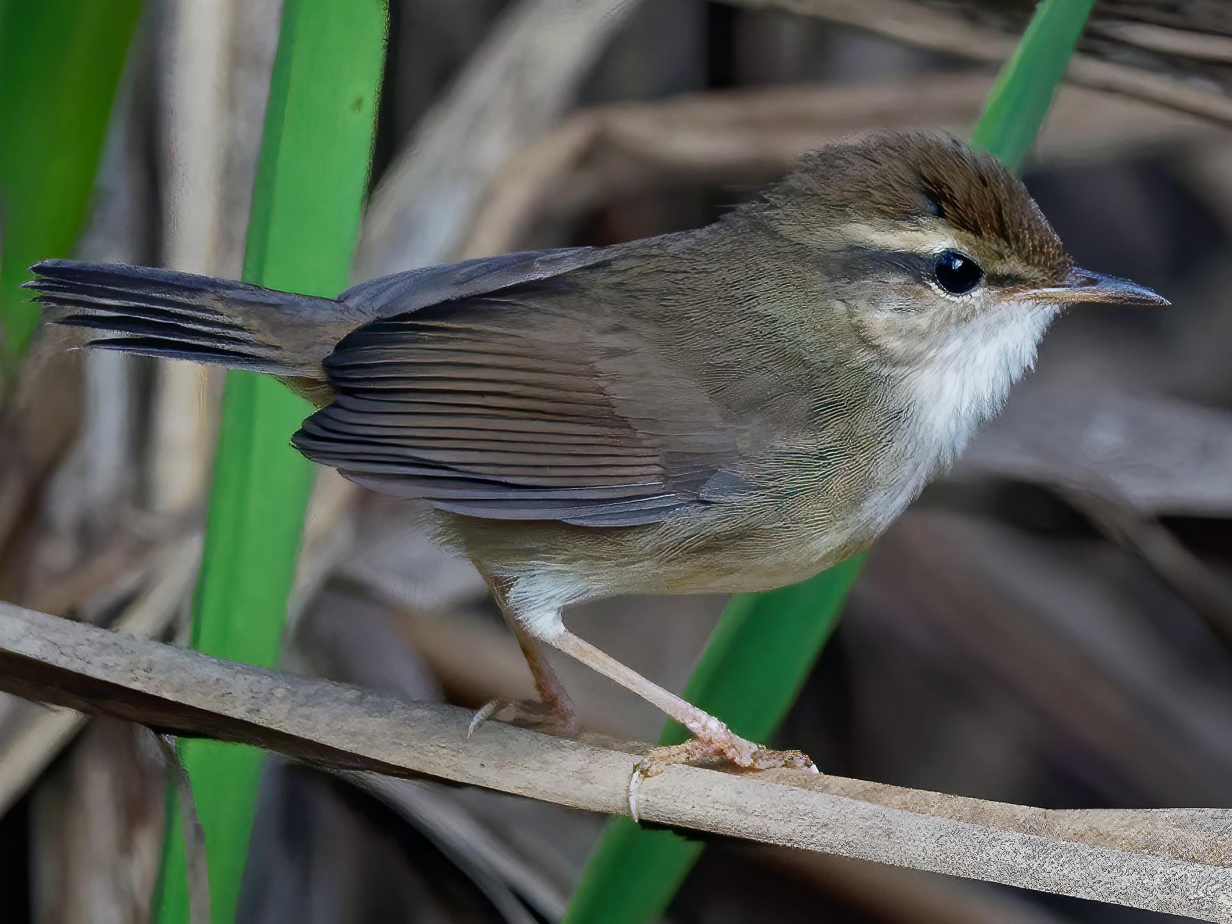 Pale-footed Bush Warbler - Vincent Wang