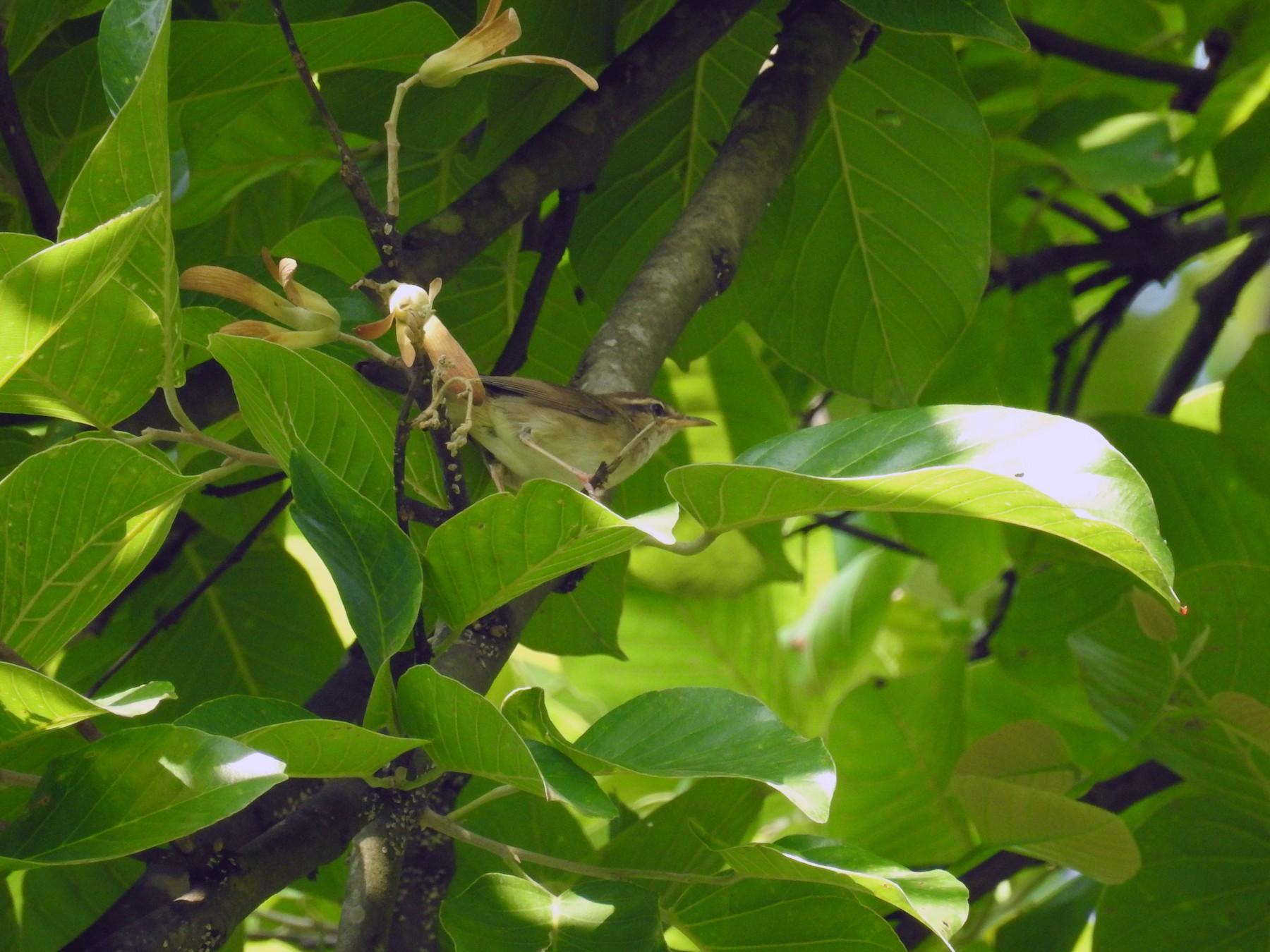 Pale-footed Bush Warbler - Ashwin Viswanathan
