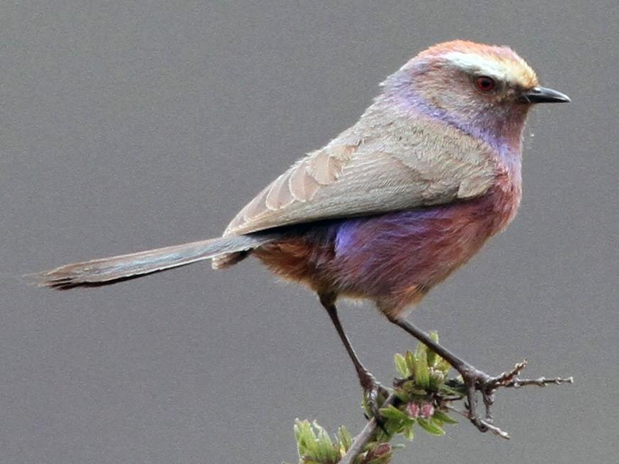 White-browed Tit-Warbler - Alex Bayly