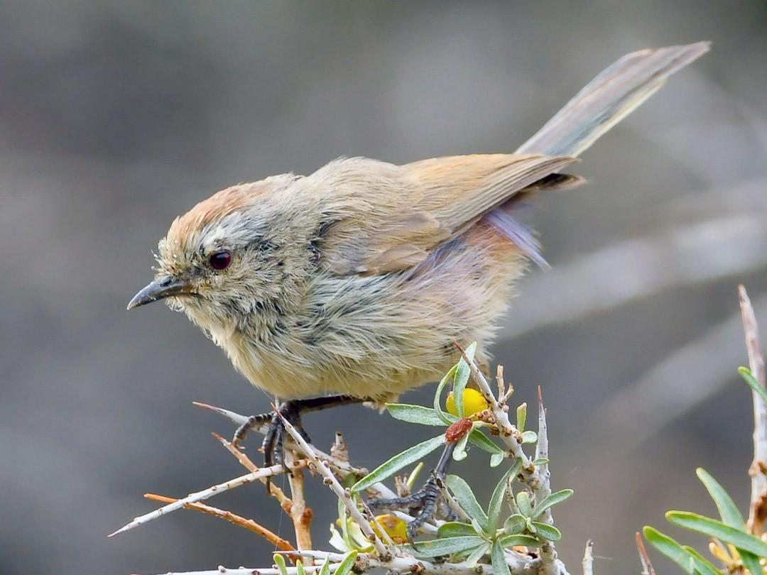 White-browed Tit-Warbler - Saurabh Sawant