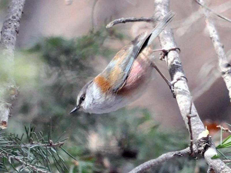 Crested Tit-Warbler - Steve Bale