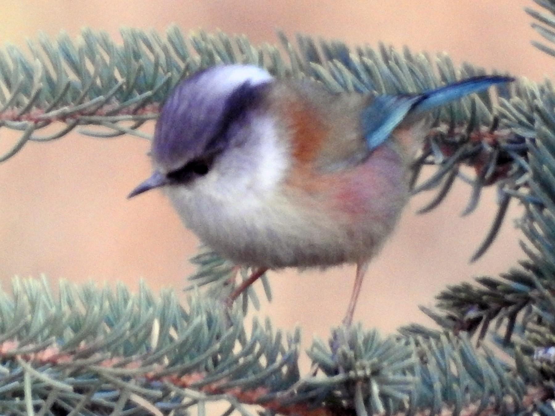 Crested Tit-Warbler - Philip Steiner