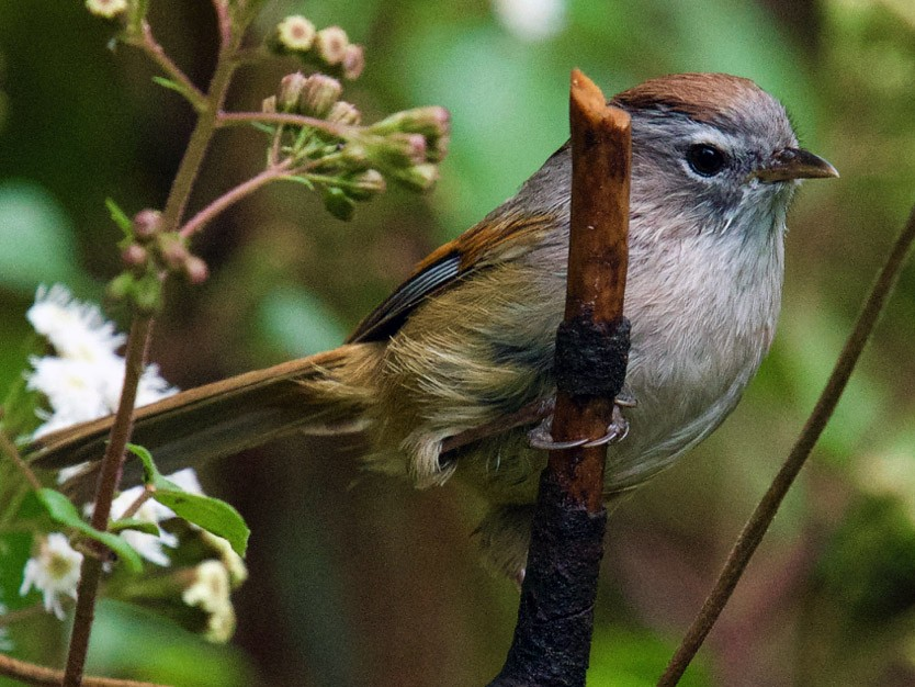 Spectacled Fulvetta - Qin Huang