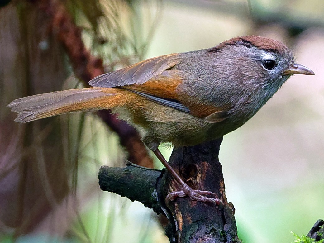 Spectacled Fulvetta - Vincent Wang