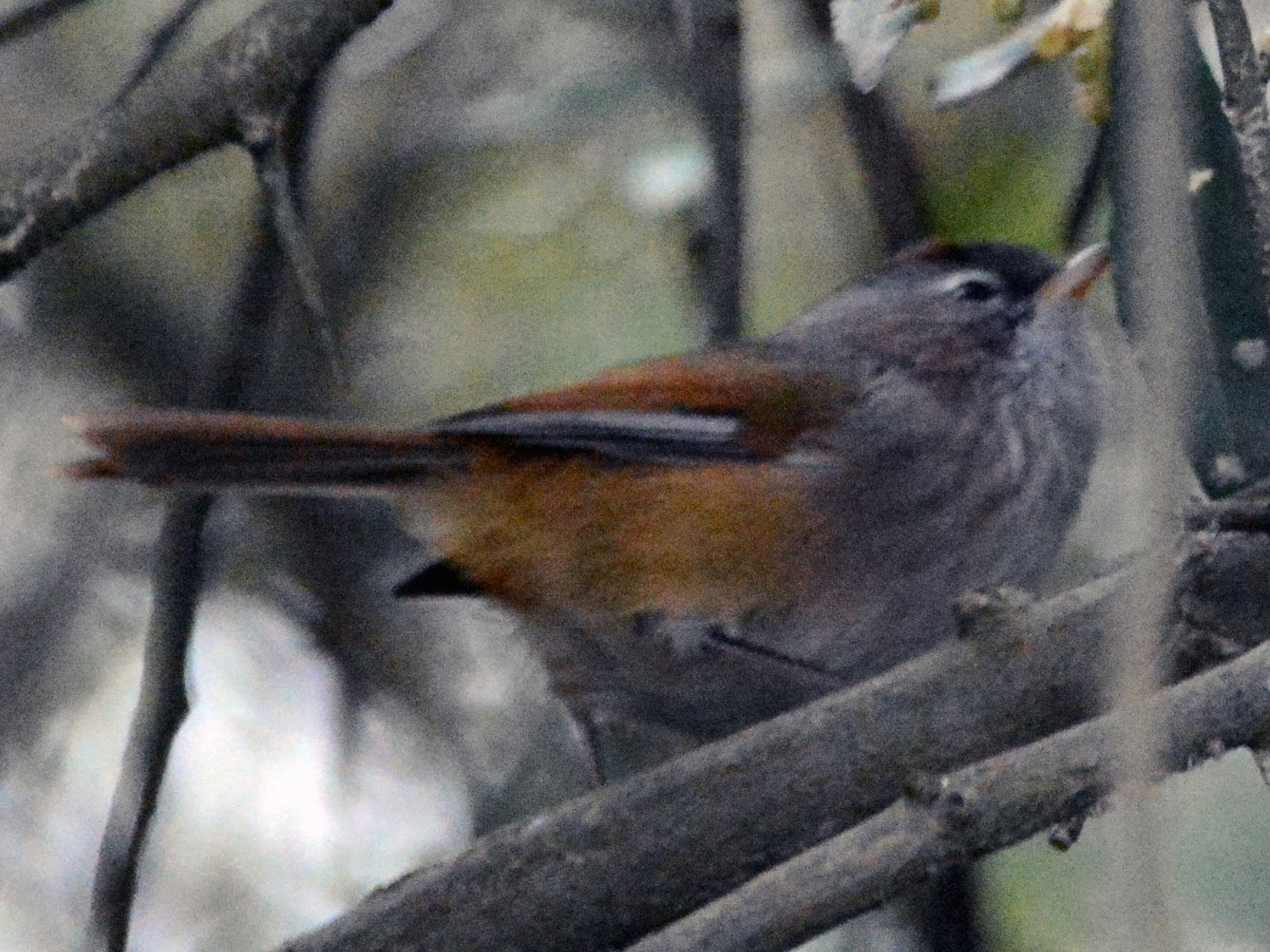Spectacled Fulvetta - Cathy Pasterczyk