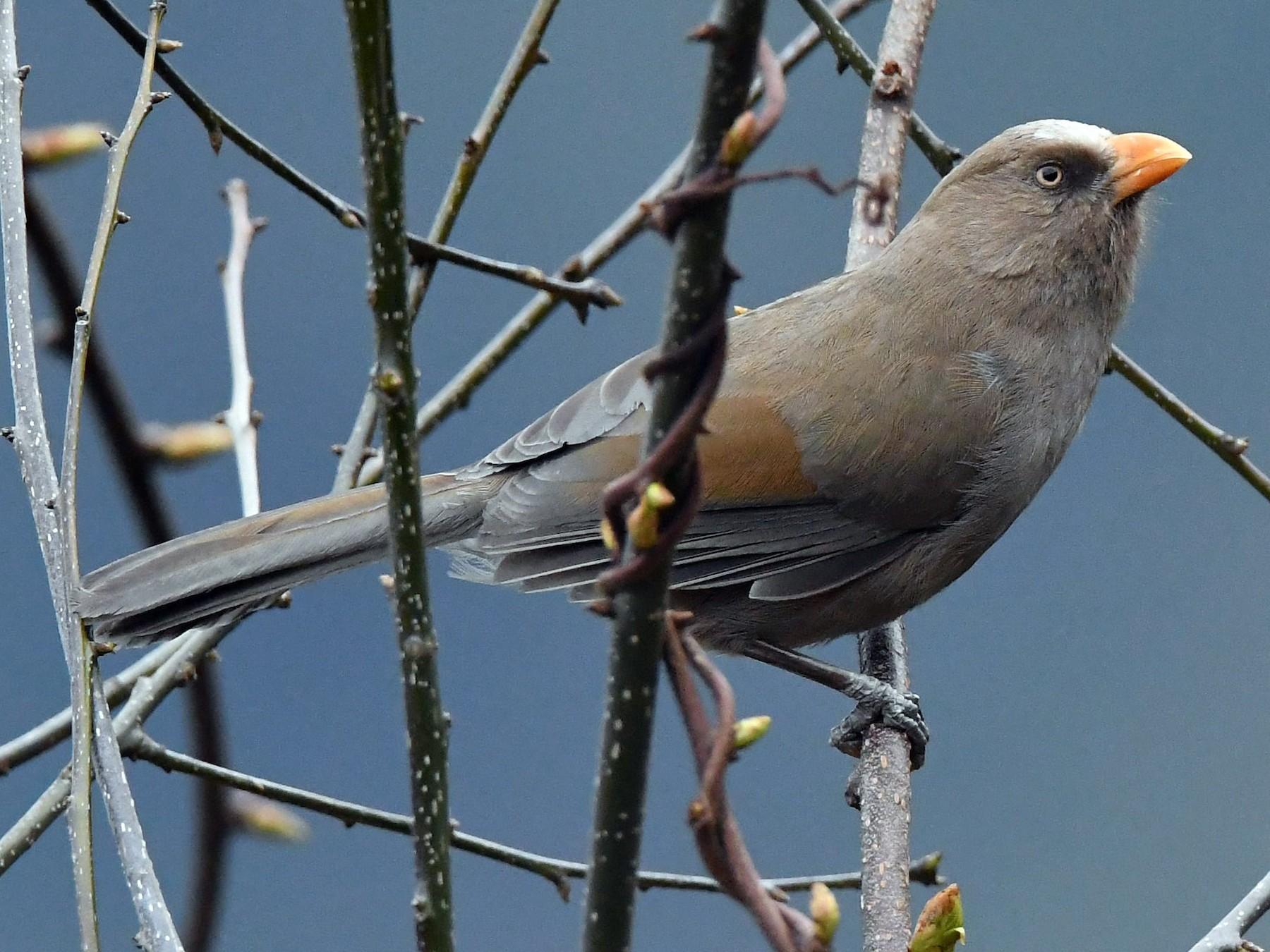 Great Parrotbill - Sriram Reddy